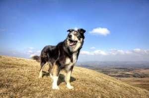 边境牧羊犬该怎么训练?